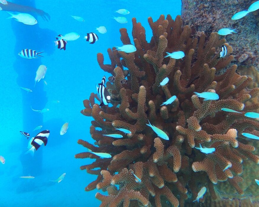 zebra fishes at coral