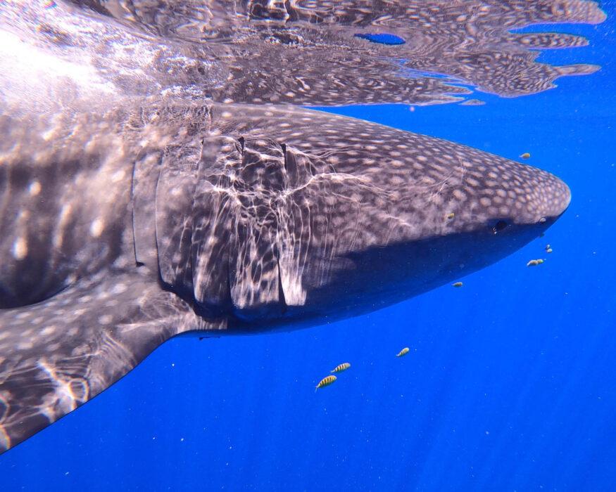moorea adventure whale shark