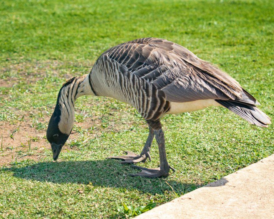 Kauai nene goose