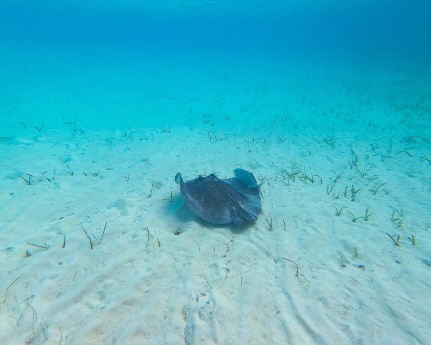 bahamas sting ray