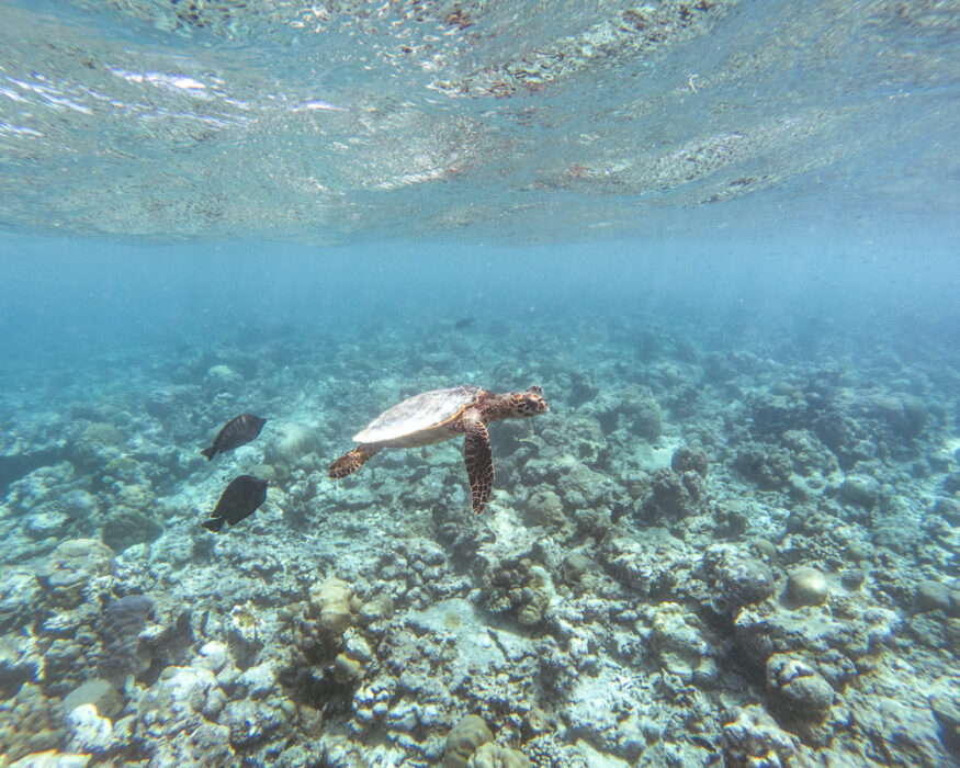 raffles-maldives-turtle