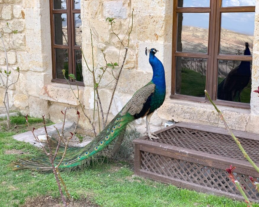 peacock museum hotel