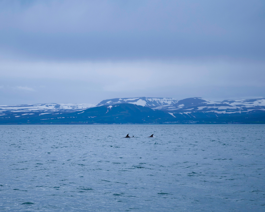 Dolphins best things to do in Iceland