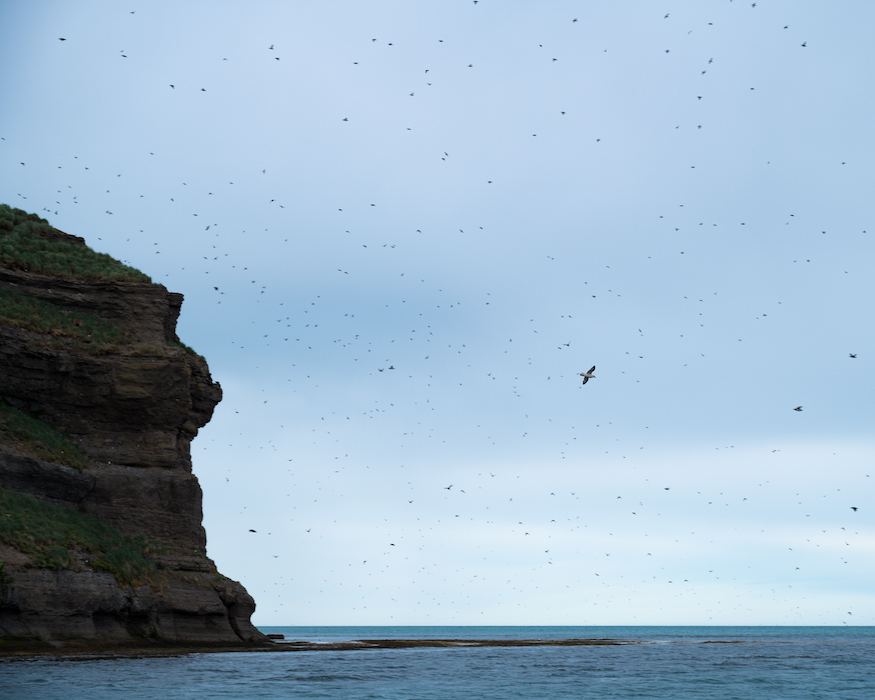 puffin island best things to do in Iceland
